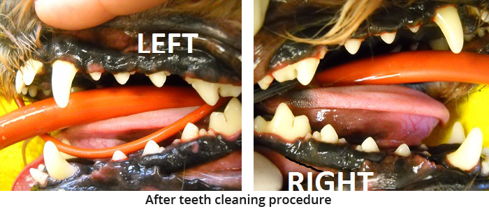 pet teeth cleaning after