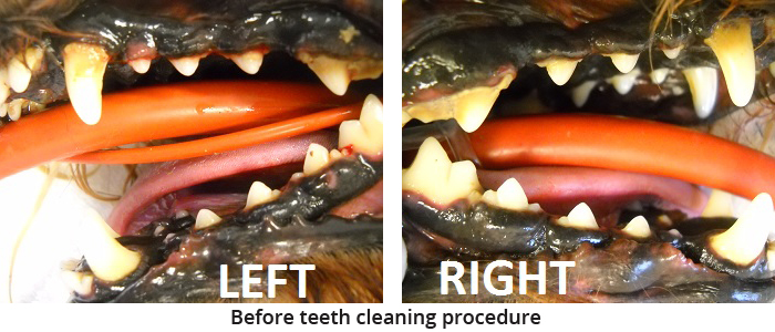 pet teeth cleaning before